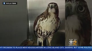Cab Driver Credited With Saving Hawk