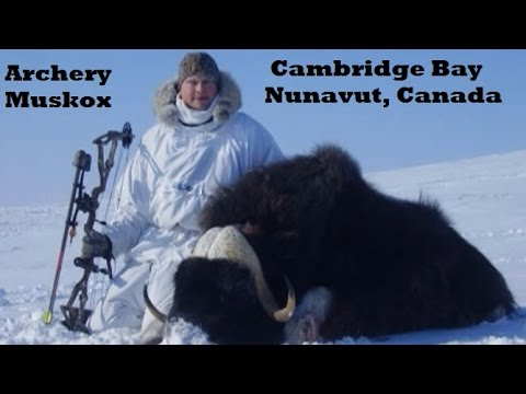 Muskox bow hunt in Nunavut Canada how we archery hunt the arctic for exotic big game