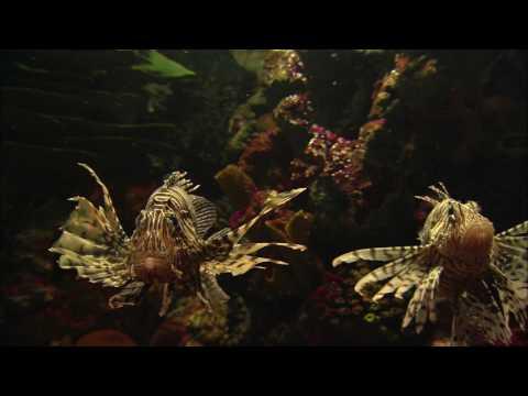 AVE HD™ Lionfish Aquarium