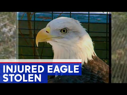 Missing: Bald Eagle With Amputated Wing Stolen
