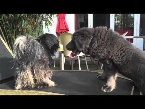 lhaso apso attack tibetan mastiff