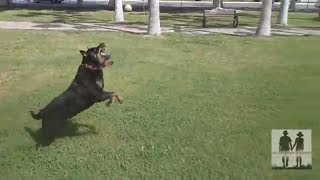 Gambar cover Rottweiler Playing Attacks Flying Dog - Rottweiler Dog Bird Attacks Game - Pia :)