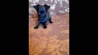 Карликовая собачка-Репин чат