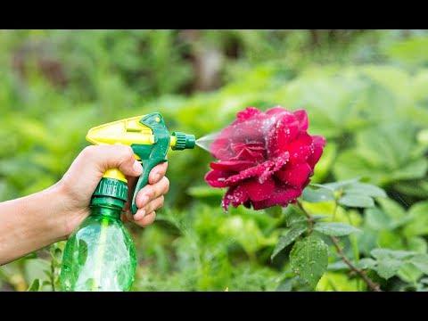 Важная внекорневая подкормка для розы в августе и сентябре! Отличная подготовка роз к зимовке!