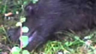 Медведь выжрал всю брагу, уснул и обделался