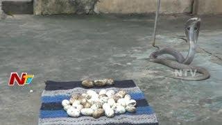భద్రాద్రి కొత్తగూడెం జిల్లాలో ఓ ఇంట్లో 50 గుడ్లు పెట్టిన పాము || NTV