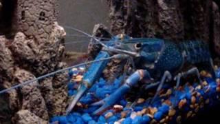 Austrailian Blue Lobster & friends Thumbnail