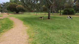 German Shepard and maremma sheep dog puppies playing with 13 years old greyhound at fdog park