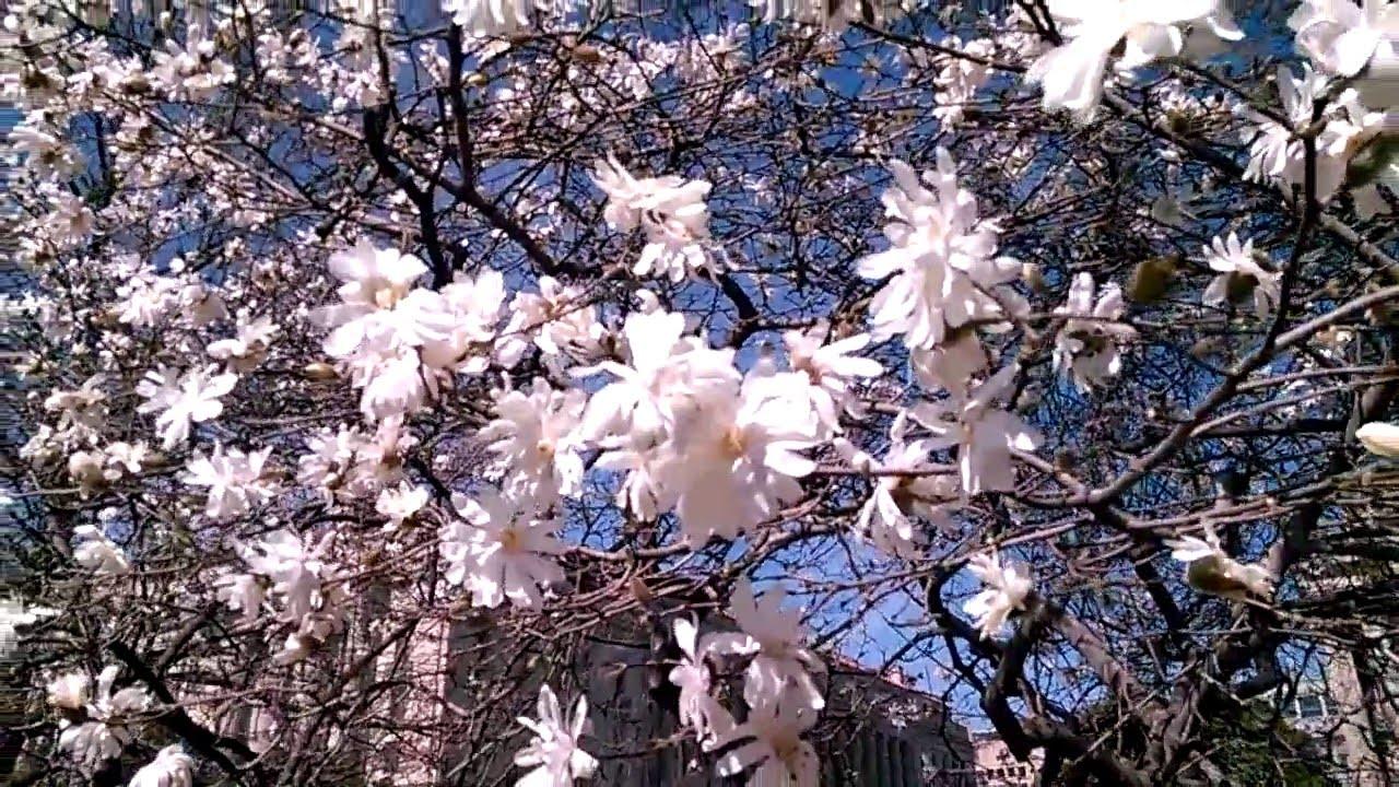 Star Magnolia Magnolia Stellata Trees In Full Bloom Youtube