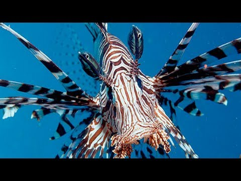 How To Train Lionfish To Eat Spectrum Pellets