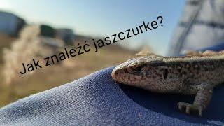 Jaszczurka zwinka(Lacerta agilis) - czyli jak znaleźć jaszczurke? (Polskie jaszczurki #1)