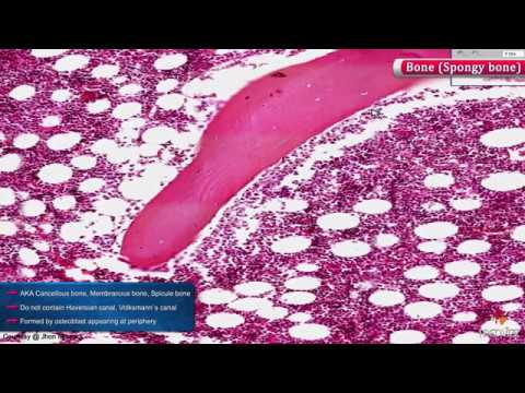 Histology Of Spongy Bone Shotgun Histology Youtube