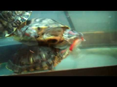 Big Red Eared Sliders Feeding On A Large Goldfish!