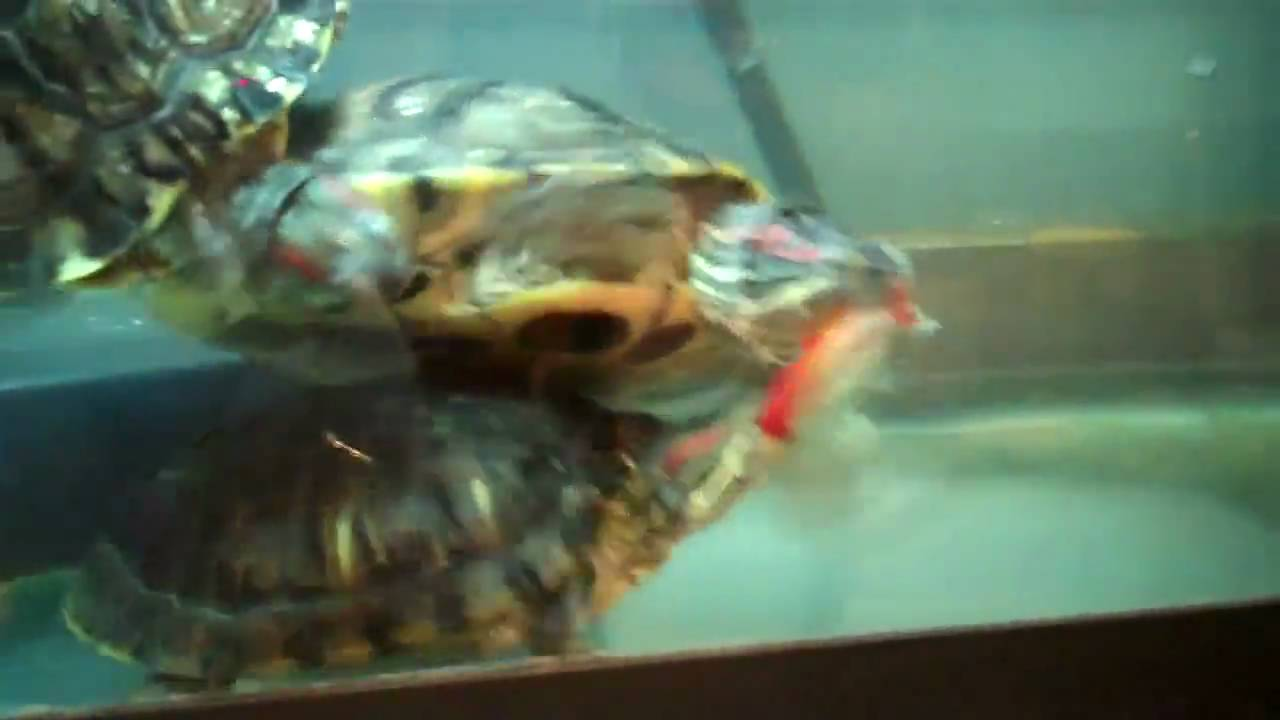 Big Red Eared Sliders Feeding On A Large Goldfish Youtube