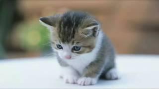 nada dering suara anak kucing