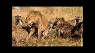 ハイエナ 戦い 動物 -- 野生動物 戦い 2015 HD ハイエナ 戦い 動物 -- ...