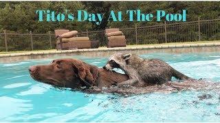 「ほら、いっしょに泳ごうよ!」アライグマとわんこがプールでバシャバシャ水遊びを満喫