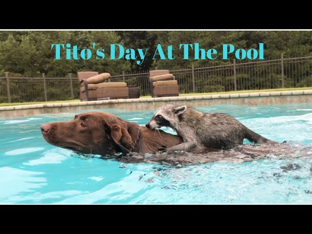Tito The Raccoon Spends The Day At The Pool Ft. Penny