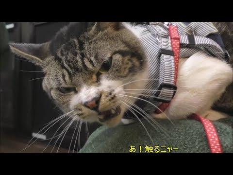 動物病院嫌いな猫☆今日も激おこ?目がめっちゃ怒ってます☆ゴジラ猫リキちゃん【リキちゃんねる 猫動画】Cat video キジトラ猫との暮らし