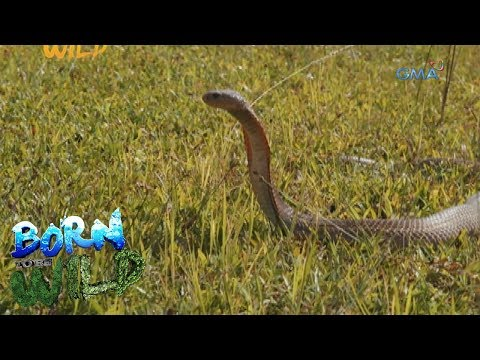 Born to Be Wild: Observing the behavior of the Philippine Cobra