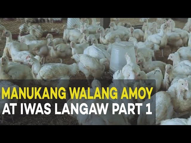 Manukang Walang Amoy at Iwas Langaw: Introduction and Benefits   Agribusiness Broiler Farming Part 1