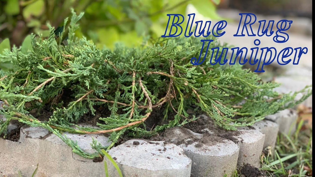 Blue Rug Junipers - YouTube