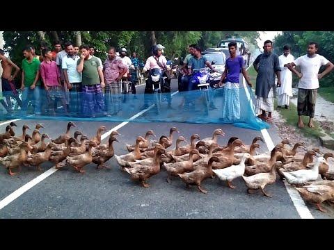 Fisher - Thousands Of Ducks Halt Traffic