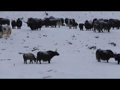 видео: Пастушьи собаки кыргызов Памира.