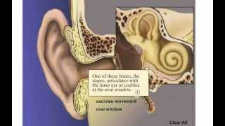 Physiology of nervous system. Hearing. Cochlea.