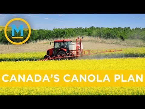 This Is Canada's Plan For The Canola No Longer Being Sold To China | Your Morning