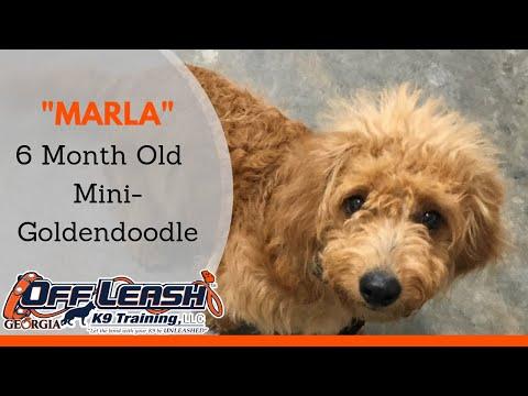 Marla | 6 Month Old Mini-Goldendoodle | Off Leash K9 Training, Georgia | Any Breed