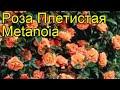 Роза плетистая Метанойя. Краткий обзор, описание характеристик, где купить саженцы