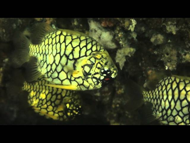 Pineapple Fish, Cleidopus gloriamaris, Sydney, April 2015