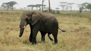 Well Endowed Elephant Chasing A Female