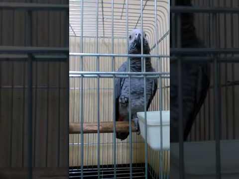 African Grey Parrot – Sudah Bisa Bicara Hallo Assalamualaikum Dan Batuk-Batuk