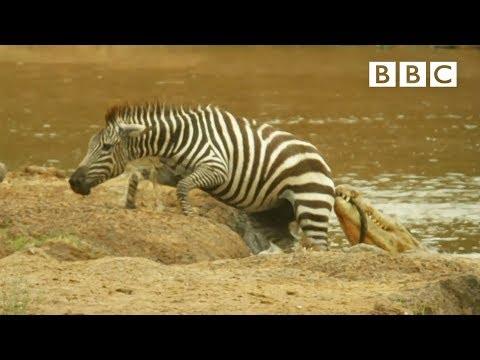 Shani the Zebra's incredible escape from ferocious crocodiles - BBC