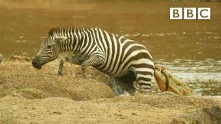 Shani the Zebra's incredible escape from ferocious crocodiles - BBC