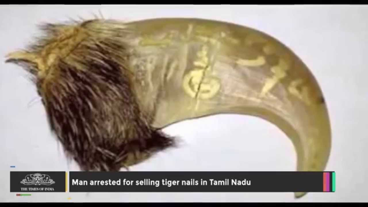 eb75abd6ff5 Man Arrested for Selling Tiger Nails in Tamil Nadu - YouTube