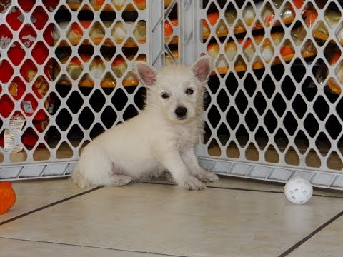West Highland White Terrier, Westie, Puppies, Dogs, For Sale, In Raleigh, North Carolina, NC, Durham