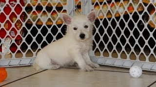 West Highland Terrier, Puppies, For, Sale, In, Charlotte, North Carolina, Nc, Lexington, Clemmons, F