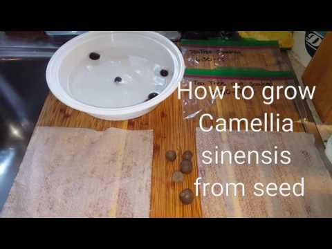 How to grow Camellia Sinensis - tea tree and hydrating seeds for germination