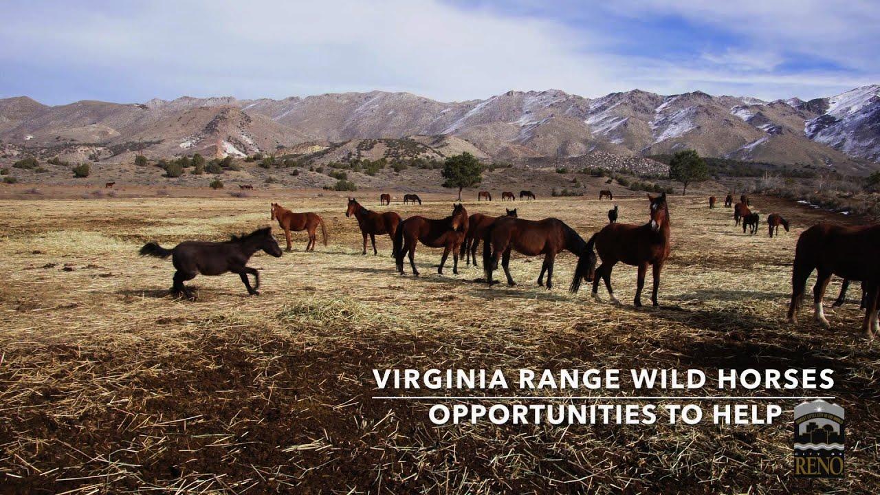 Virginia Range Wild Horses