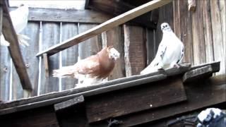 Мой фильм голуби Евгения Никулина  Эпизоды голубиной жизни