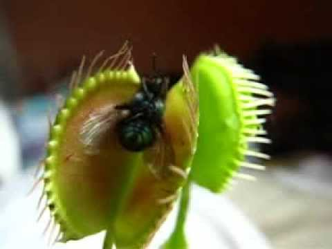 Carnivorous Plant- Flytrap eating a Fly by trapping insect ...