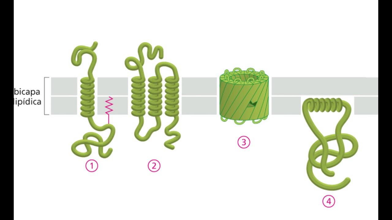 funcion de proteinas perifericas