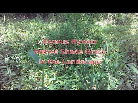 Hystrix Patula (Elymus Hystrix), Eastern Bottlebrush Grass