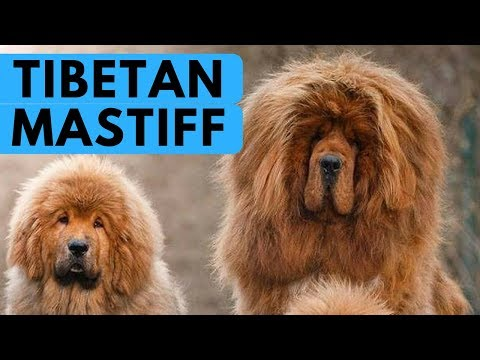 Tibetan Mastiff - Noble and Gentle Dog Breed