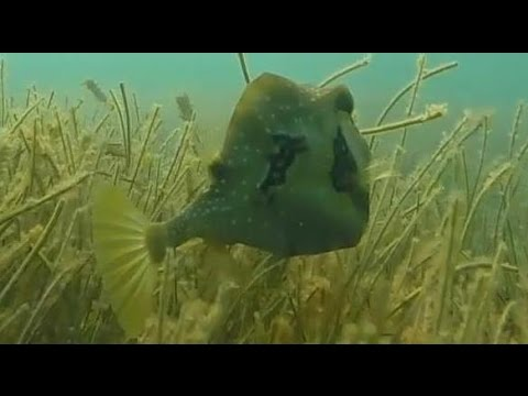 Buffalo Trunkfish - Snorkeling Akumal Bay Mexico - 4/8/2015