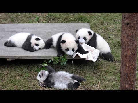 Giant Panda Breeding Center, Chengdu, China in 4K (Ultra HD)