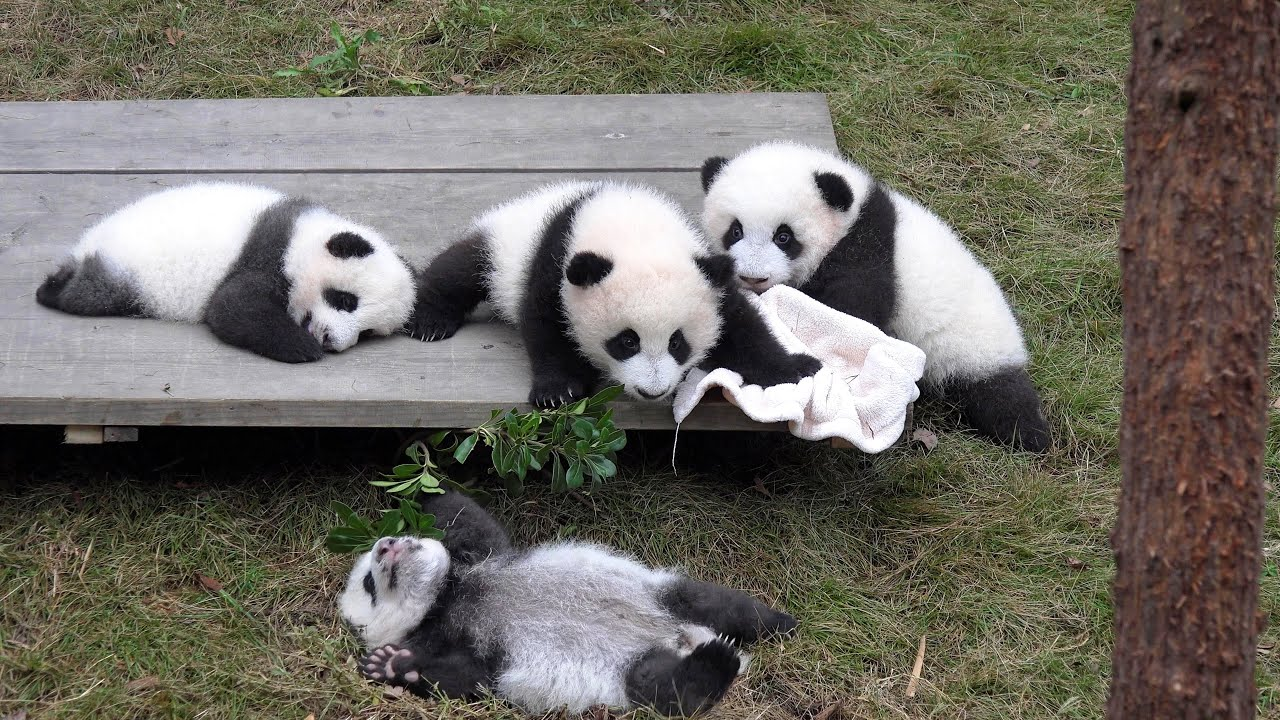 High Definition Animal Wallpapers Giant Panda Breeding Center Chengdu China In 4k Ultra